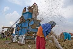 Gujarat : Nakhatrana, peanuts #4 (foto_morgana) Tags: india rural asia harvest peanut gujarat arachishypogaea nakhatrana kachchhdistrict