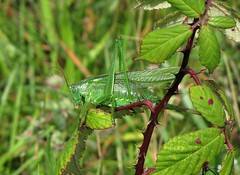 Great Green Bush-Cricket (tom_2014) Tags: wild green ecology animal insect wildlife cricket devon grasshopper hopper invert biodiversity invertebrate entomology dawlish tettigonia viridissima bushcricket dawlishwarren tettigoniaviridissima greatgreenbushcricket devonwildlife