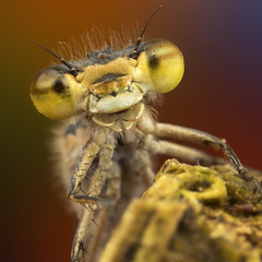 Damselfly! (Muzby1801) Tags: above blue autumn summer hairy colour detail macro green nature beautiful up canon insect lens creativity spider photo interestingness spring amazing nice interesting eyes close wasp dragonfly wildlife extreme watch great bugs 100mm best frog sharp bee bbc tiny crop times 28 manual common popular lifesize damselfly armour emerald antenna hoverfly sensor damselflies hairs robber 4x stacker mpe 65mm 3x springwatch 5x photostack zerene 60d countryfile macrolife