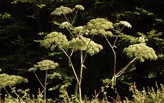 Wilder Engelwurz_DSC_3777 (schaefer_rudolf) Tags: angelica weis apiaceae wildpflanze doldenbltler engelwurzen blte weisrosa