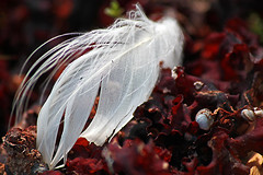 Feather (pelnit) Tags: finland feather korpo pelnit