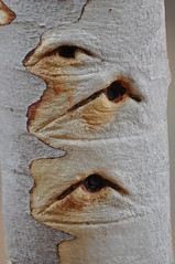 Staring Tree (Born in Borneo) Tags: pink tree garden botanical eyes olive treetrunk staring mallee alicesprings