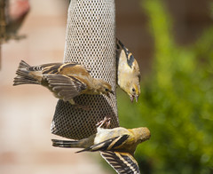 Double Teamed! (Jeff Cushner) Tags: fighting goldfinches nygerseed doubleteamed