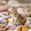 Curious (Peggy Collins) Tags: leaves rocks pastel deadleaves chipmunk ontherocks curious chipper chipmunks rockyroad curiousity peggycollins staycalmandcarryon