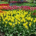 Dutch Tulips, Keukenhof Gardens, Netherlands - 3927 thumbnail