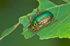 Mimela splendens,  (aeschylus18917) Tags: macro green nature japan forest insect nikon g beetle micro  nikkor f28 vr coleoptera 105mm insecta 105mmf28  scarabaeidae   yamanashiken 105mmf28gvrmicro yamanashiprefecture polyphaga scarabaeoidea d700 nikkor105mmf28gvrmicro mimelasplendens mimela  scarabaeiformia nikond700 danielruyle aeschylus18917 danruyle druyle   anomalina rutelinaerutelini dupledit