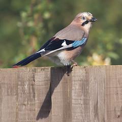 October Jay (Ian-S) Tags: uk bird nature garden jay norfolk wildlifefrommywindow