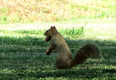 Squirrels and Their Nuts...1 (Gem Images) Tags: winter usa animal stash bury squirrel texas secret ground save hide nut pecan harlingen