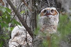 Great Horned Owls (Bubo virginianus) (Steve Byland) Tags: florida great owl everglades bubo horned virginianus