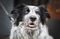 My Good Side (BeetleBrained) Tags: dog pet nature smile animal photoshop lens 50mm nikon maryland baltimore nikkor wink cs5 d5100