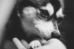 Rory (KelsieTaylor) Tags: blackandwhite bw dog beautiful closeup nose paw soft hand palm whiskers darkeyes alaskankleekai