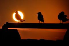 Buonasera (luporosso) Tags: natura nature naturaleza naturalmente nikond300s nikon tramonto sunset silhouette siluetas gabbiano gabbiani seagull seagulls controluce contraluz