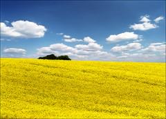 Yellow sea (Katarina 2353) Tags: sea summer film yellow landscape nikon europe serbia vojvodina srbija katarinastefanovic katarina2353