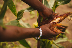 Farmer Showcasing Maize in a Crop Field (IFPRI-IMAGES) Tags: row crop sow plant agriculture grow farming farm sustainability soil cultivation maize corn cornfield kilosa tanzania ifpri hands husk kernals peel shuck