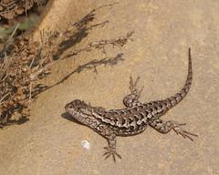 Western fence lizard (Tom Clifton) Tags: pointlobos southshoretrail