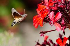 Moro sphinx (J-C Isabelle) Tags: sphinxcolibri macroglossumstellatarum morosphinx lpidoptre fleur flower nikon d5100 sigma 105 macro france french vol