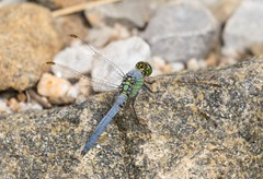 7K8A2142 (rpealit) Tags: scenery wildlife nature camp olympia stokes state forest male common pondhawk dragonfly