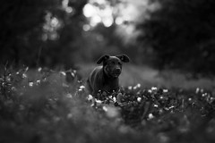 Charlie (Tams Szarka) Tags: dog pet animal puppy outdoor nature forest blackandwhite summer nikon
