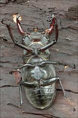 Lucanus-cervus_3 (amadej2008) Tags: taxonomy:binomial=lucanuscervus stagbeetle hirschkfer roga kleman lucanuscervus stag beetle rogai klemani lucanus cervus
