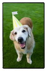 Nick Birthday Boy.  15 Years Old Today. (Eline Lyng) Tags: golden retriever goldenretriever nick birthday birthdayhat grass leicasl summilux50mmf14asph 50mm littledoglaughedstories