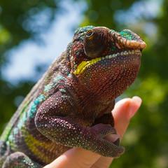 Chameleon (Jorge Ibarra L.) Tags: chameleon camaleon chamaeleonidae lizard lagarto animal colors colores