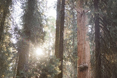 CA-CO (36 of 60) (codywellons) Tags: sequoia national park california nature kings canyon trees a7ii