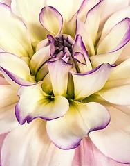 Dahlia (Marcia Fasy) Tags: flowers plants fair iphone dahlia
