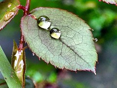 After d rain (Lens_sky05) Tags: nature garden green waterdrops drops raindrops rose leaf