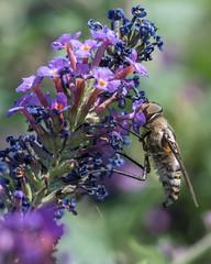 Flower Fly 4 (ssiegel16) Tags: backyardinsects flowerfly scaevasp