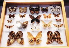 Eyespots --  Butterfly Collection at University of Florida 9115 (Tangled Bank) Tags: florida museum natural history butterfly butterflies moth collection tray cabinet insect lepidoptera arthropod