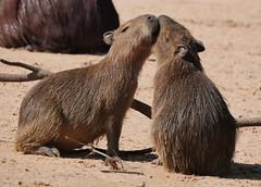 Two Young Capybaras (Hydrochoerus hydrochaeris) (Susan Roehl) Tags: braziltrip2016 cuiabariver pantanal brazil southamerica capybara hydrochoerushydrochaeris alongtheriverbank siblings affection sueroehl naturalexposures photographictours panasonic lumixdmcgh4 100400mmlens animal mammal rodent outdoors ngc