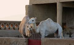 Camellos (vic_206) Tags: marruecos morocco canoneos60d canon24105f4lis camellos camels