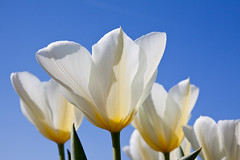 Tulps (ninikraan) Tags: netherlands limmen flowers tulp white