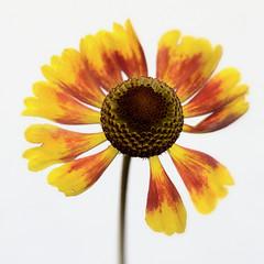 Helenium (Funchye) Tags: helenium solbrud flower blomst nikon d610 105mm
