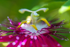 Passiflora_ESC_5201 (Thomas Meier-Lpfe) Tags: passiflora thomasmeierlpfe inselmainau nikond4 makro pink bokeh