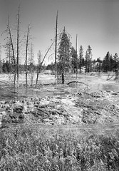 Yellowstone (martin.bruntnell) Tags: yellowstone sulphur pools bw mono deadtrees