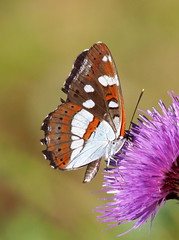 LIMENITIS REDUCTA  -  SOUTHERN WHITE ADMIRAL (quarzonero ...Aldo A...) Tags: limenitisreducta southernwhiteadmiral butterfly farfalla nature coth coth5 sunrays5