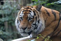 Siberian tiger - Dierenpark Amersfoort (Mandenno photography) Tags: dierenpark dierentuin dieren animal animals tiger tijger tigers tijgers ilya siberian amersfoort nederland ngc netherlands