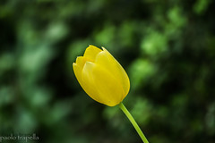 tulipano (paolotrapella) Tags: tulips tulipano fiori giardino giallo yellow