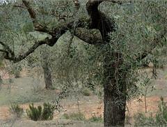 olivo en Otos (carlosjunquero) Tags: olivo otos