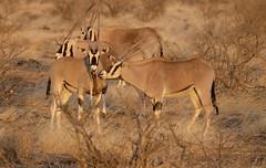Golden Oryx (perkster24) Tags: oryx goldenoryx wild wildlife wildlifephotography kenya samburu samburunationalpark gamedrive africa african safari antelope nature naturephotography conservation