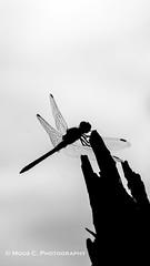 Bruinrode heidelibel (ChrMous) Tags: bruinrodeheidelibelsympetrumstriolatum veluwe nederland nationaalparkhogeveluwe tamronspaf90mmf28dimacro11