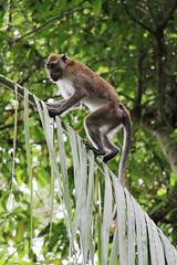 IMG_0408 (trevor.patt) Tags: palauubin singapore island macaque monkey