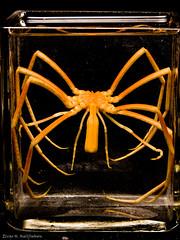 Sea spider 2 (Elvar H) Tags: arcticocean helmerhansen jermak siarctic bentos havedderkop seaspider