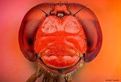 red ball head extreme (gatomotero) Tags: dragonfly macroextremo redhead focusstack zenere sonya7r studiostack apilado dof details microlenses micro nature animalportrait
