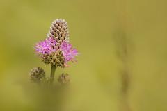 Purple Prarie Clover (wdterp) Tags: purple prairie clover wildflower