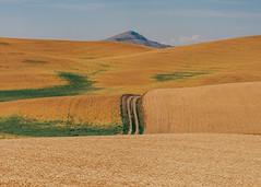 The Ecstacy of Gold (Pedalhead'71) Tags: whitmancounty washington palouse hills gold landscape unitedstates us