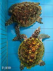 DSC_0905 (inkid) Tags: pantairemis perak malaysia turtles reptiles sony xperia z5 premium dual