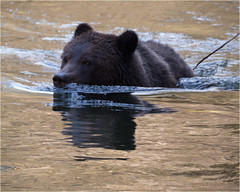 swimming grizzly... (marneejill) Tags: swimming grizzly bear holmaco bute inlet