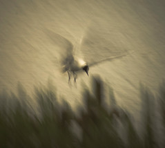 Hovering (1963chris) Tags: lake bird nature birds sepia rural countryside flying wings movement raw wildlife gull sony blurred aves landing britishwildlife avian hovering slowshutterspeed blackheadedgull leightonmoss britishbirds mygearandme mygearandmepremium mygearandmebronze mygearandmesilver